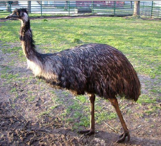 Emukakas  (Forrás: magyaremu.hu)