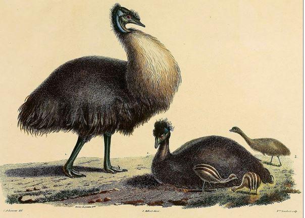kangaroo_islandi_emu