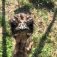Egy fiú, egy lány – avagy ivarmeghatározás emuéknál